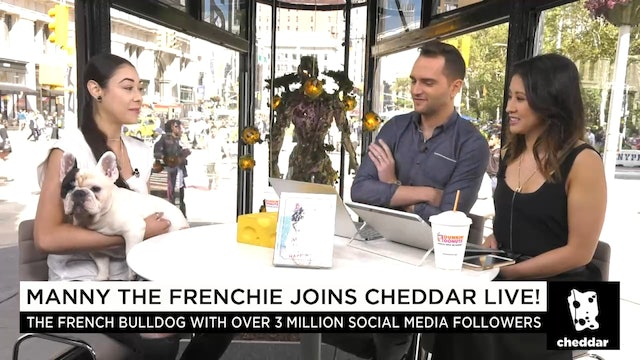 Manny the Frenchie Joins Cheddar
