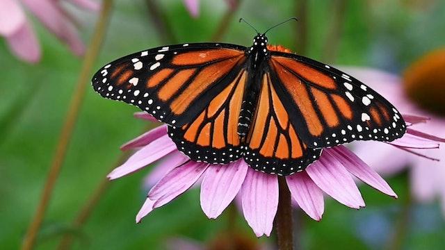 Monarch Butterfly Population at Chautauqua