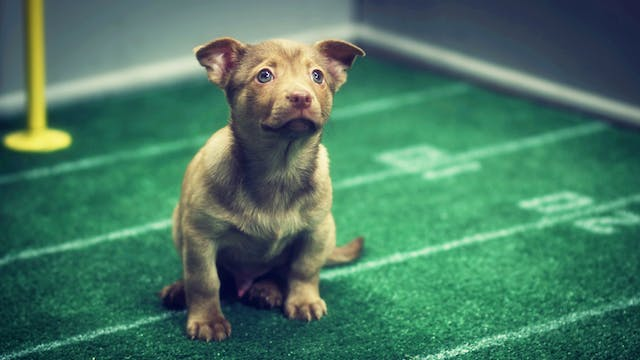 Any Given Puppy Bowl