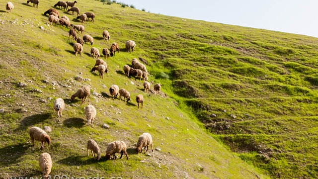 100 Words - YR2 February 17 - Sheep and the Good Shepherd