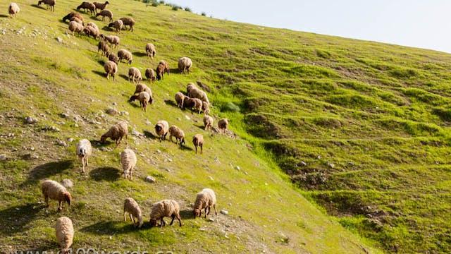 100 Words - YR2 February 17 - Sheep a...
