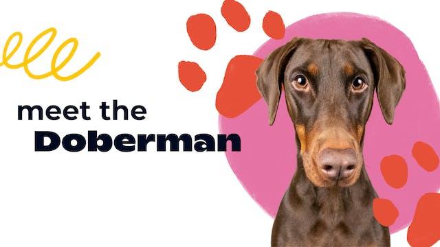 Meet the Doberman