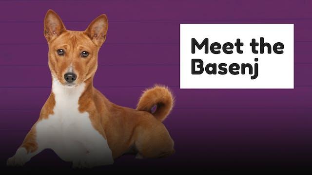 Meet The Breed: Basenji