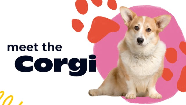 Meet the Corgi