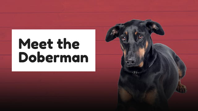 Meet The Breed: Doberman