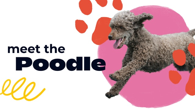 Meet the Poodle