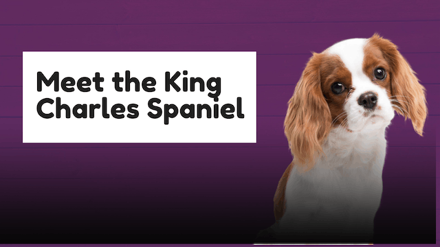 Meet The Breed: Cavaliers