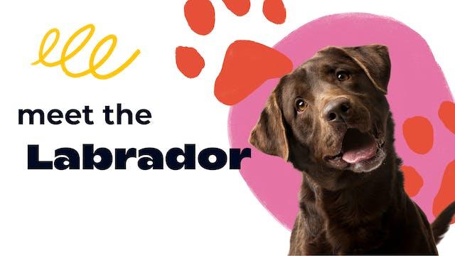 Meet the Labrador