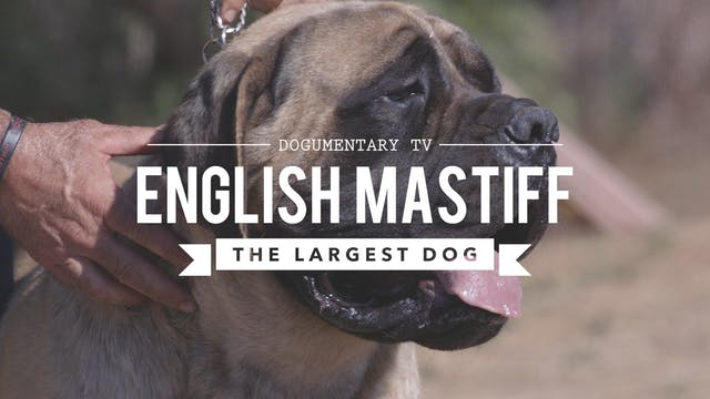 ALL ABOUT THE GREAT DANE THE K9 GENTLE GIANT - All About