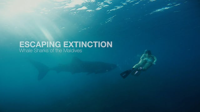 Escaping Extinction - Whale Sharks of the Maldives