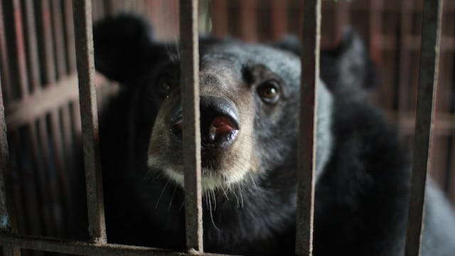 Bile Bears of Hanoi
