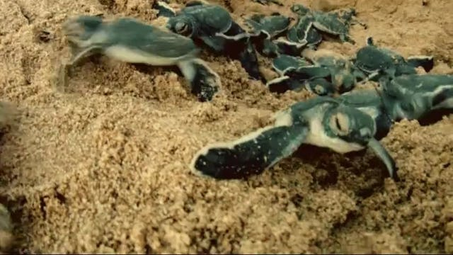 The Sea Turtles of Lamu