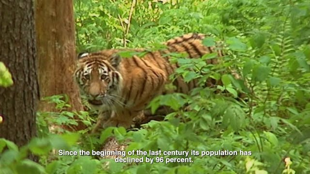 Tigers and Humans