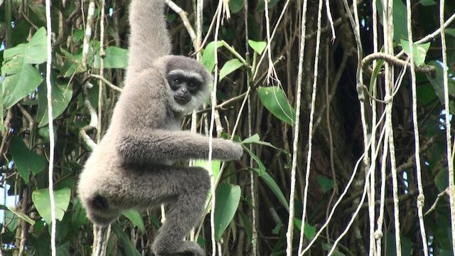 The Singing Ape, Gibbon