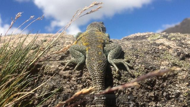 The Healing Lizard