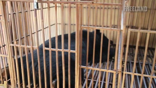 Bile Bears of Hanoi