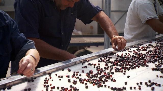 Pitchin' In: Saskatoon Berries