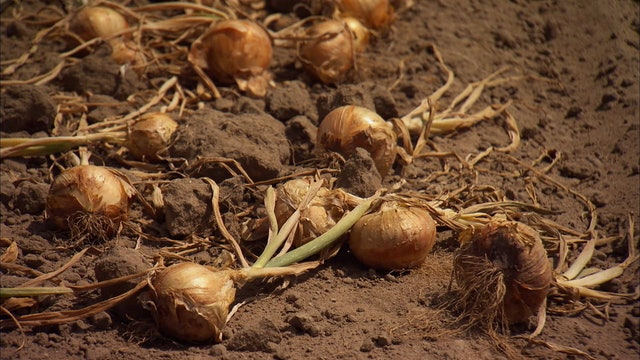 Pitchin' In: Onions
