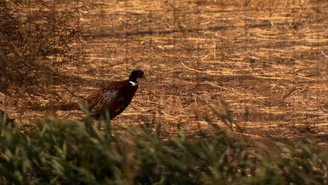 Pitchin' In: Pheasant