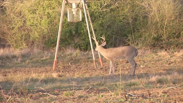 Whitetail Hunting on the Plomero Ranch