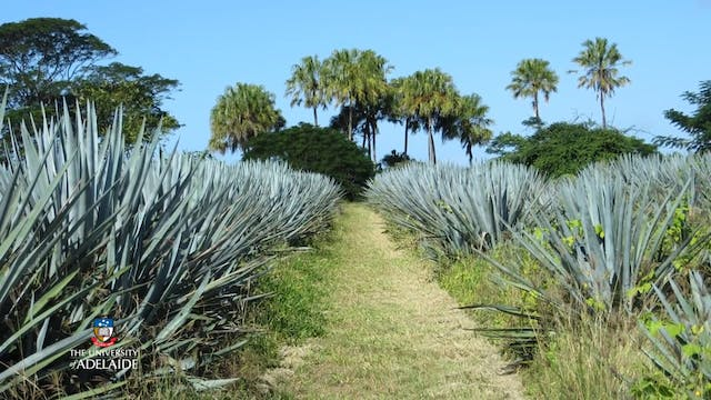 Tequila plant fuel for the future