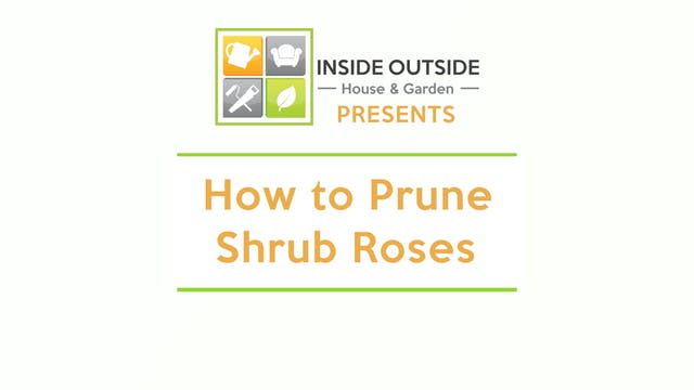 How to Prune Shrub Roses