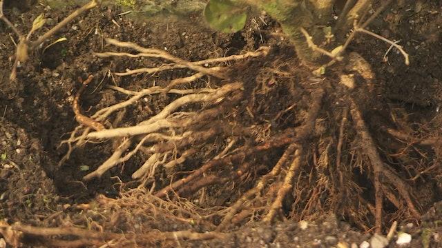 Gardeners' World - Helleborus Orientalis