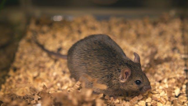 Killer Mice