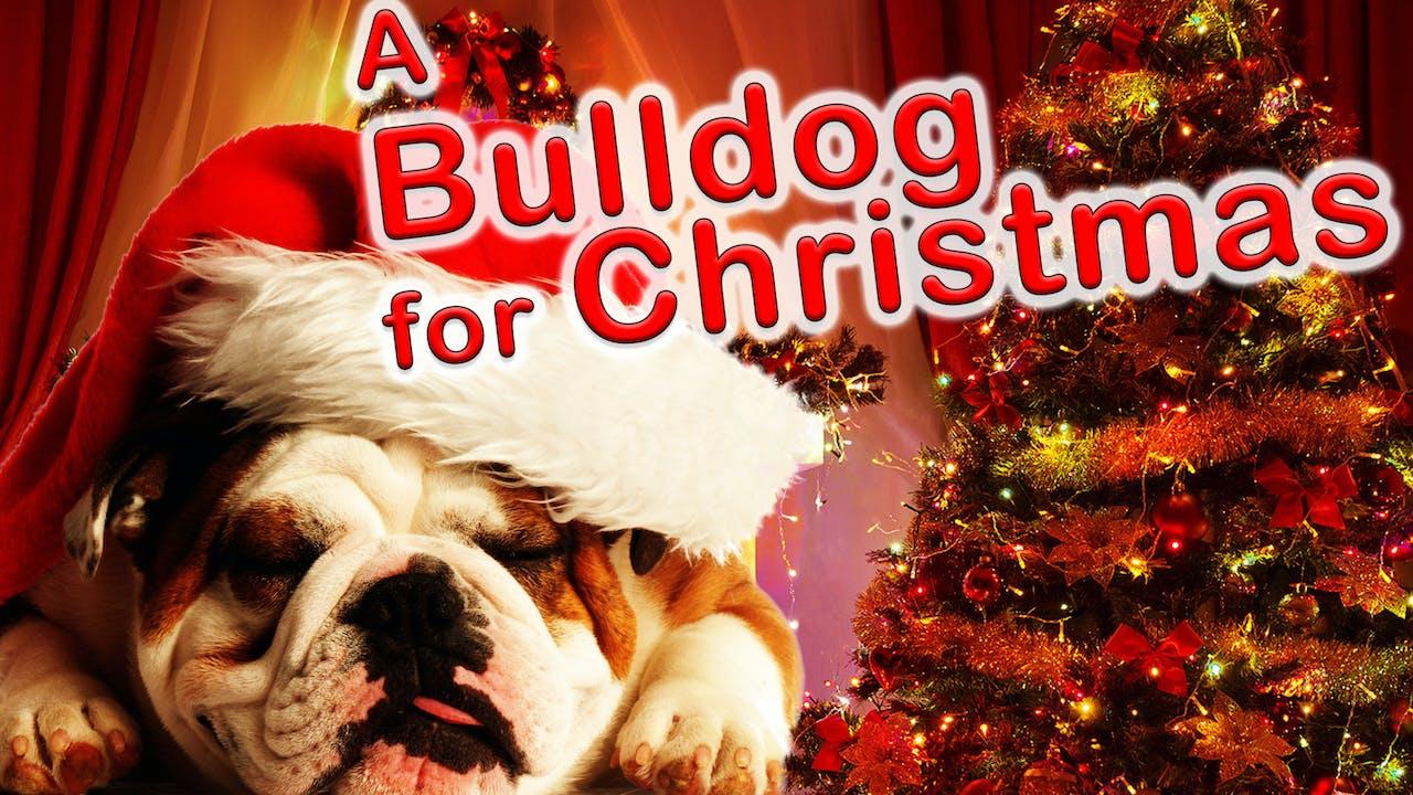 Bulldog for Christmas