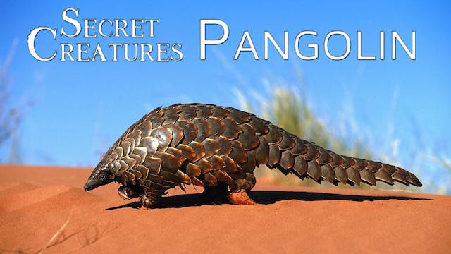 Secret Creatures : Pangolin