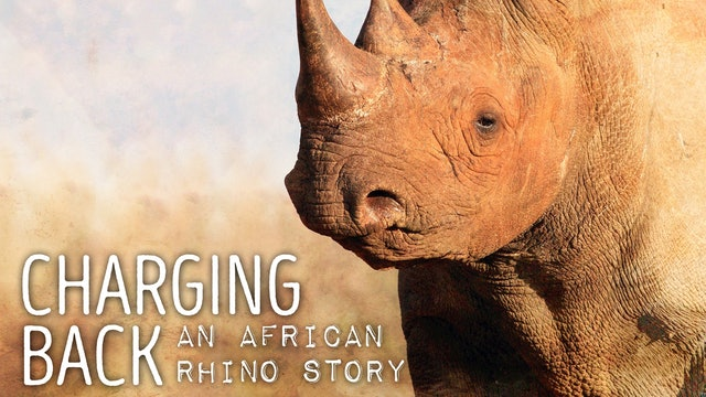 Charging Back : An African Rhino Story