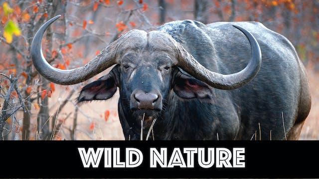 WN02 Cape Buffalo