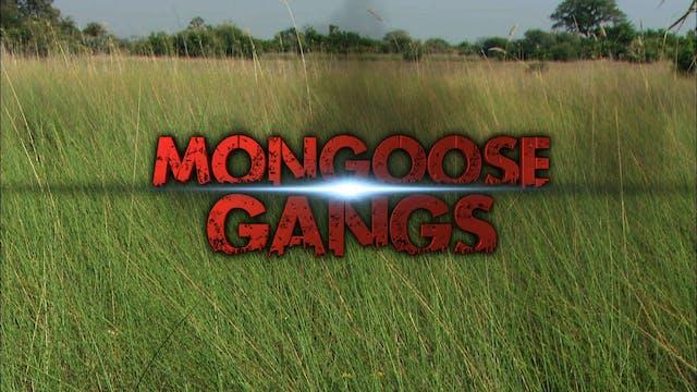 Mongoose Gangs