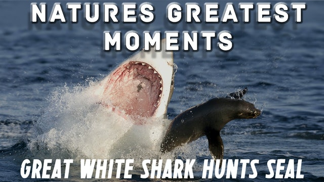 NGM209 - Great White Shark Seal hunt