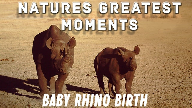 NGM208 - Baby Rhino Birth