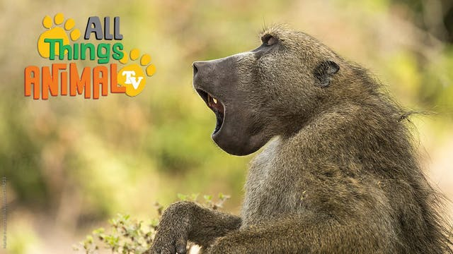 All Things Animal : Baboons