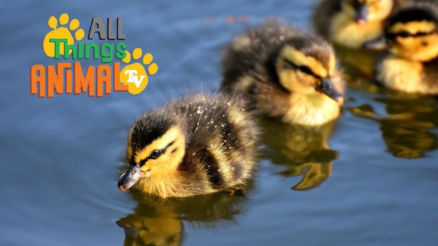 All Things Animal : Ducks