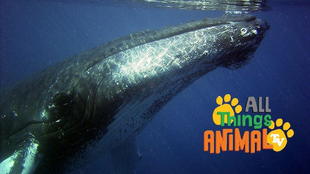 All Things Animal : Humpback Whales