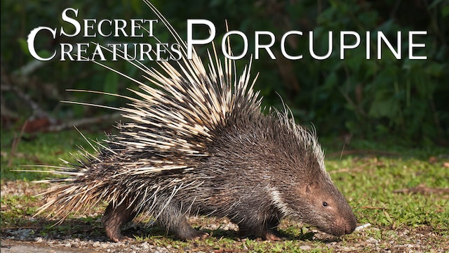 Secret Creatures : Porcupine