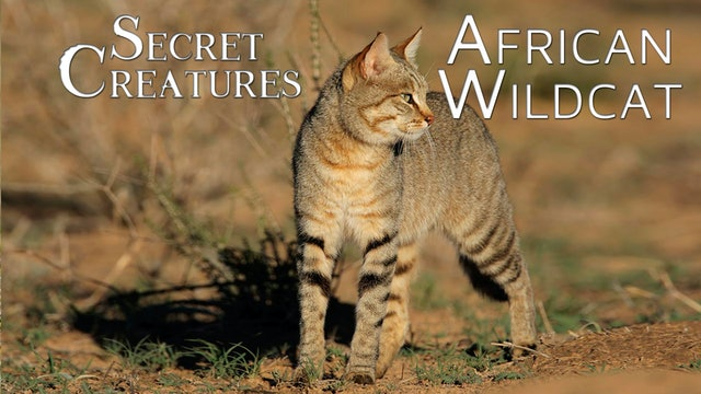 Secret Creatures : African Wildcat