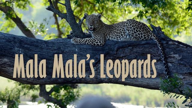 Mala Mala's Leopards