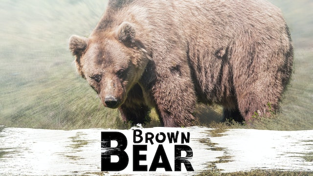 In the Shadow of Extinction: The Himalayan Brown Bear