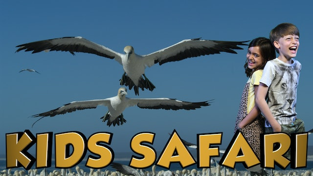 OCEAN KIDS SAFARI - GANNETS