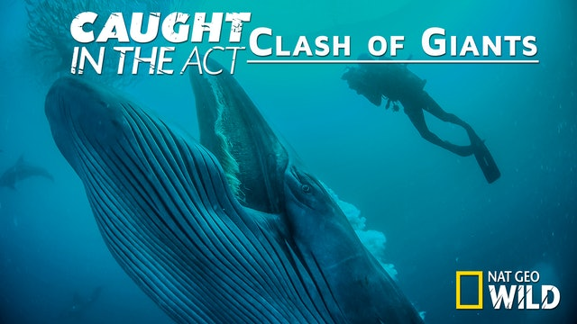Caught in the Act: Clash of giants
