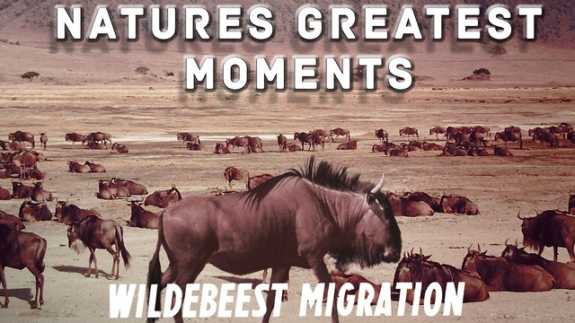 NGM205 - Great Wildebeest Migration