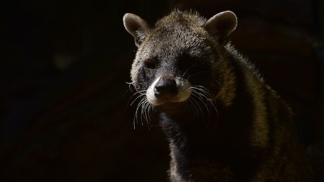 Secret Creatures : The Civet