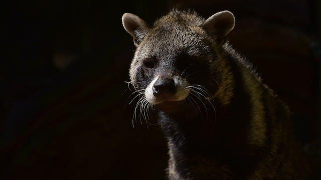 Secret Creatures : The Civet