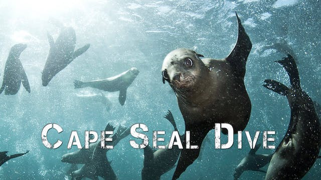 Cape Fur Seal Dive
