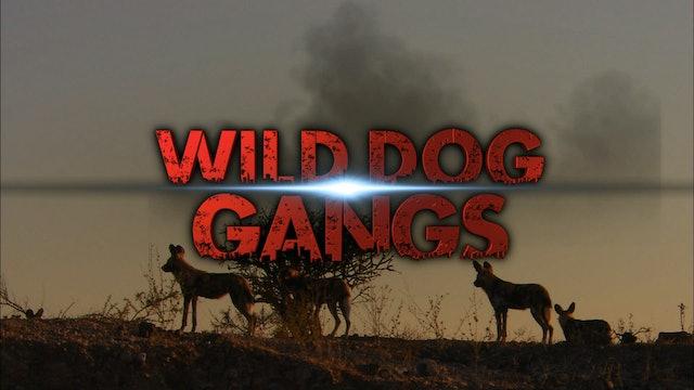 Wild Dog Gangs
