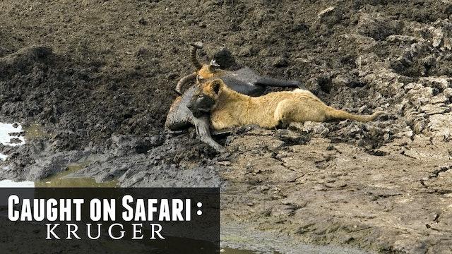 KS01 - The Singita Mega Lion Pride